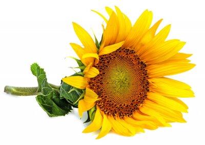 Nálepka slunečnice na bílém pozadí