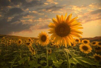 Nálepka Slunečnice na západ slunce