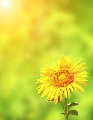 Nálepka Slunečnice na zeleném pozadí