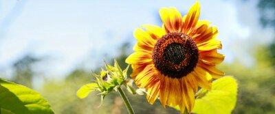 Nálepka slunečnice žlutá en pleine floraison