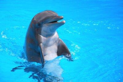 Nálepka Śmiejący się w Delfin Loro park Na Teneryfie