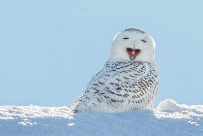 Nálepka Sovice sněžní - Zívání / úsměvem ve sněhu