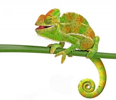Nálepka šťastný chameleon