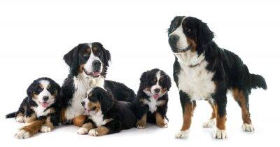 Nálepka štěňata a dospělé bernský moutain pes