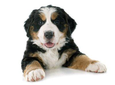 Nálepka štěně bernský moutain pes