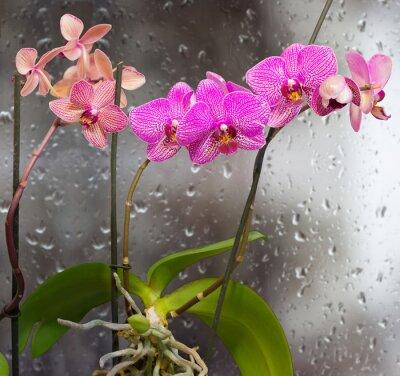 Nálepka Stonky s květy orchidejí na okno pozadí s kapkami deště