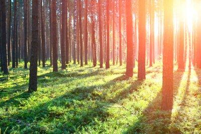 Nálepka Sunrise v borovicovém lese