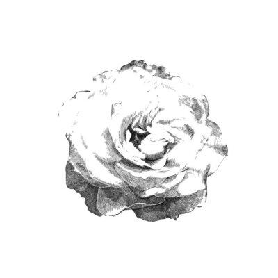 Nálepka tažené růže
