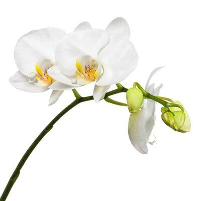 Nálepka Tři den staré bílá orchidej na bílém pozadí.