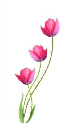 Nálepka Tři tulipány květiny izolovaných na bílém pozadí