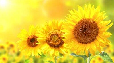 Nálepka Tři zářivě žluté slunečnice