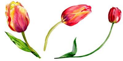 Nálepka Úžasný červený Tulipán květ se zelenými listy. Izolované ručně tažené botanická květina. Sada akvarel zázemí obrázku.