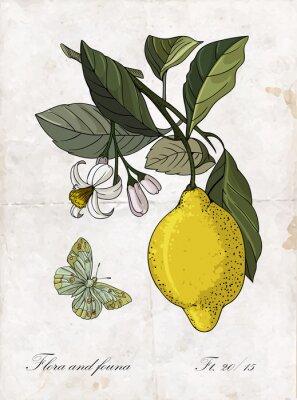 Nálepka Vektor ruční kreslení citronovou branch.Botanical ilustrace.