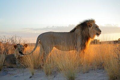 Nálepka Velké mužské africké lvi (Panthera leo) v ranním světle, poušť Kalahari, Jižní Afrika.
