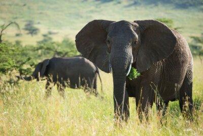 Nálepka Velký africký slon v národním parku Serengeti