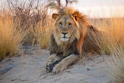 Nálepka Velký muž africký lev, poušť Kalahari