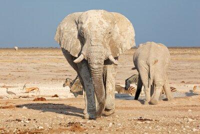 Nálepka Velký slon africký (Loxodonta africana) bull od bláta, Národní park Etosha, Namibie.