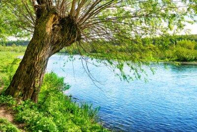 Nálepka Velký starý strom na břehu řeky