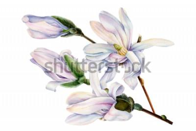 Nálepka větev jarní magnólie květin na izolované bílém pozadí, akvarel ilustrace, botanická malba