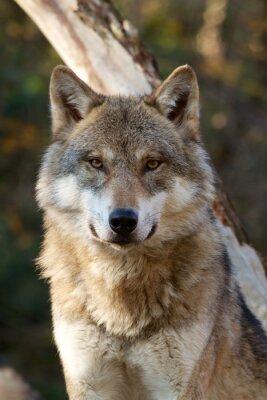 Nálepka Vlk obecný - Canis Lupus