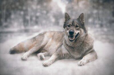 Nálepka Vlk / Šťastný vlka na pozadí sněhu.