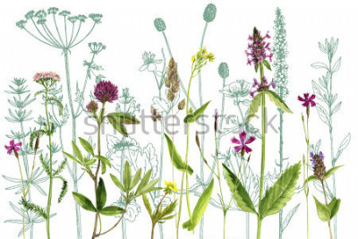 Nálepka watercolor drawing wild plants with flowers,buds and leaves, painted botanical illustration in vintage style, color floral template, hand drawn natural background