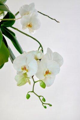 Nálepka White orchid