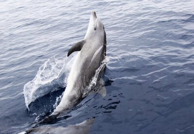 Nálepka Wild delfín skákavý