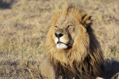 Nálepka Wild male lion portrait