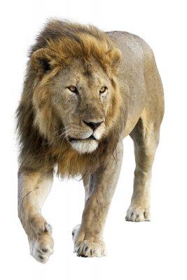 Nálepka Wild zdarma roamingu muž lev proti bílému pozadí