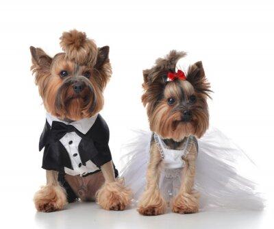 Nálepka Yorkshire teriéři oblečená na svatbu jako koště a nevěsta s