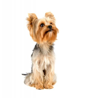 Nálepka Yorkshire terrier
