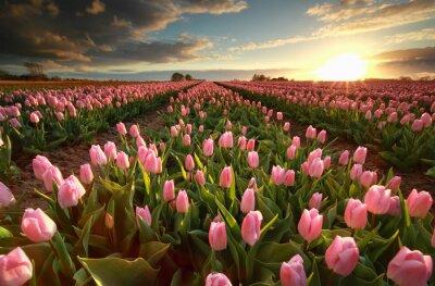 Nálepka Západ slunce nad růžovým tulipánem pole
