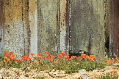 Nálepka Zářivě oranžové Kalifornie mák roste vedle zvětralých dřevěný plot.