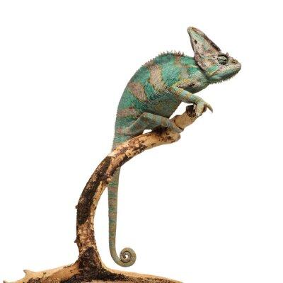 Nálepka Zeleno-hnědé chameleon na větvi