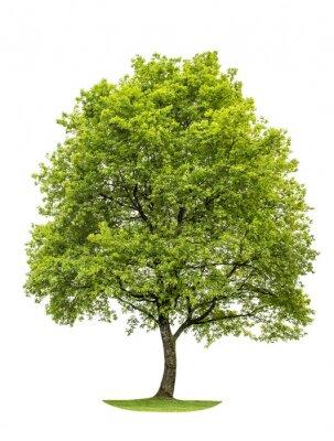 Nálepka Zelený dub strom na bílém pozadí. Příroda Object