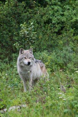 Nálepka Žena šedý vlk v otevřené louce poblíž Golden, Britská Kolumbie