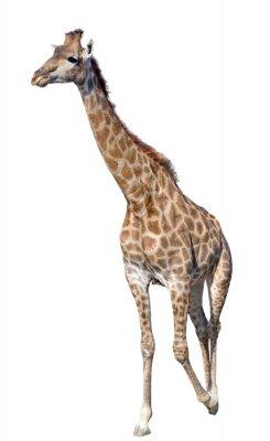 Nálepka Žirafa na bílém pozadí