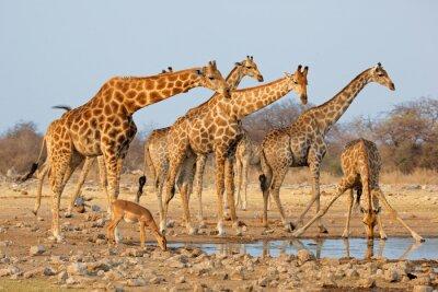 Nálepka Žirafa stádo (Giraffa camelopardalis) na napajedlo, Národní park Etosha, Namibie.
