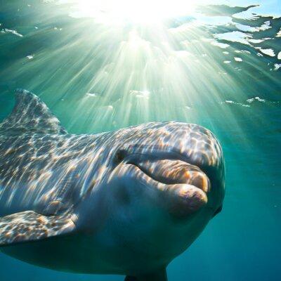Obraz A dolphin underwater with sunbeams. Closeup portrait