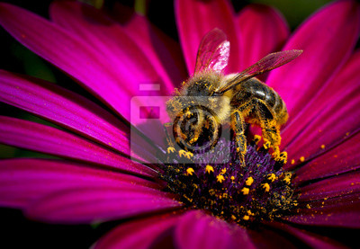 Obraz abeja cogiendo polsko de la flor