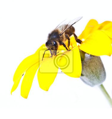 Obraz abeja en la flor en en primavera