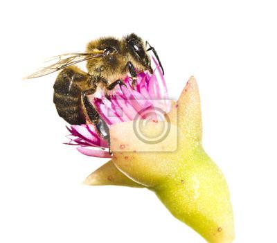 Obraz abeja en la Flor sobre fondo blanco