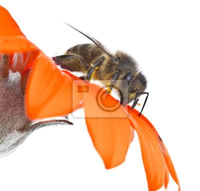 Obraz abeja en su flor