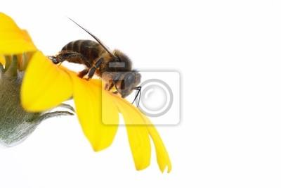 Obraz abeja recogiendo polsko