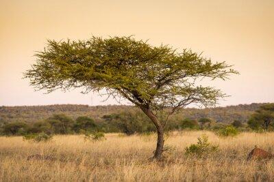 Obraz Acacia Tree Africa