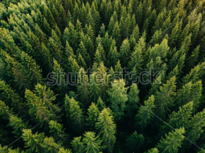 Obraz Aerial top view of summer green trees in forest in rural Finland. Drone photography