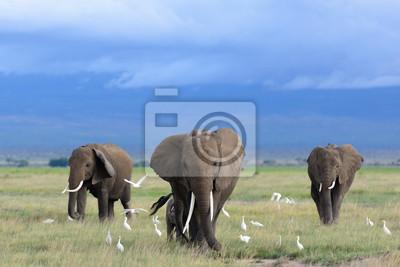 Obraz African elephants / Kenya