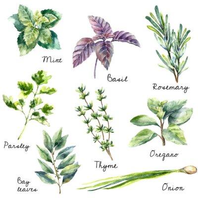Obraz Akvarel kolekce čerstvých bylinek izolovaných.