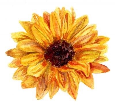 Akvarel Slunecnice Kresba Na Bilem Pozadi Vintage Styl Obrazy Na
